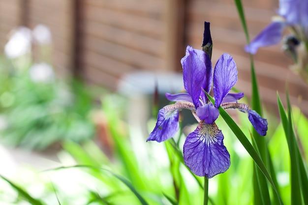 緑豊かな庭園に青いシベリアアイリスの花のクローズアップ