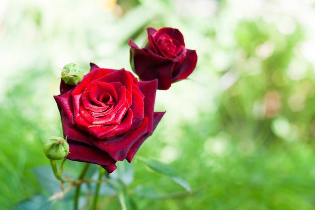 自然の中で緋色のバラ