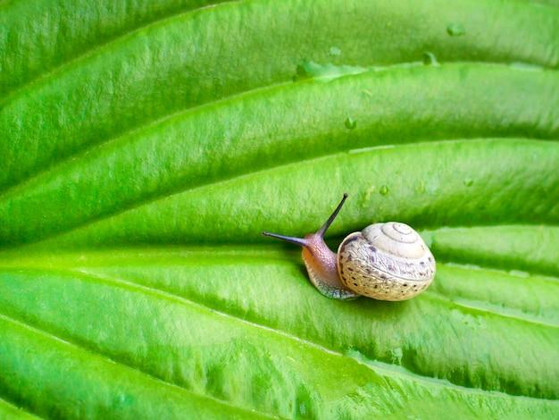 緑のギボウシの葉のカタツムリ