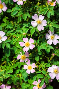緑豊かな庭園の背景に犬ローズクローズアップのピンクの花