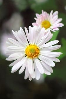 Цветок хризантемы крупным планом