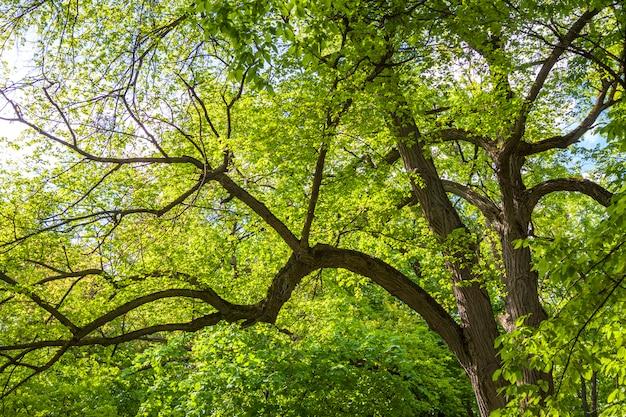 朝の太陽の緑のオークの木