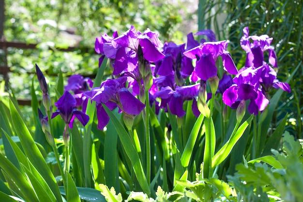 Фиолетовые цветы ириса на клумбе