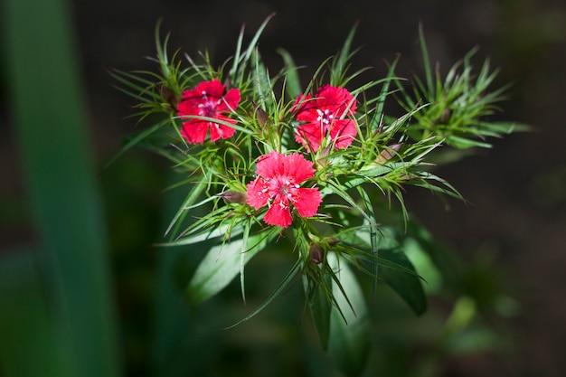 ナデシコバルバトゥスの花のクローズアップ