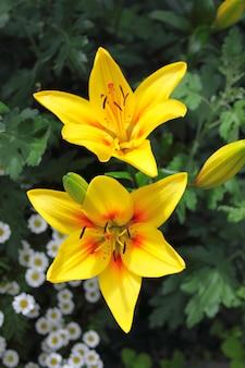 庭の黄色いリリー