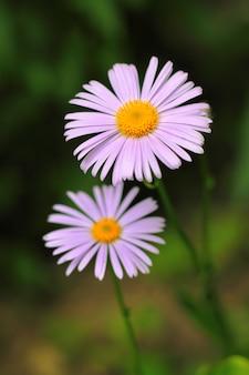Фиолетовая ромашка