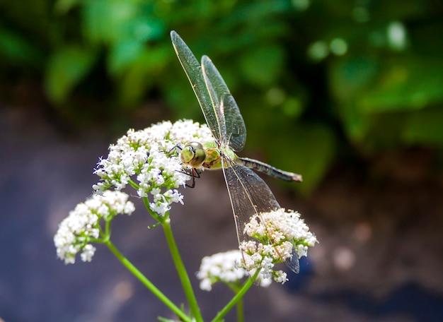 Крупный план зеленой стрекозы, сидящей на цветущем общем валериане (валериана лекарственная)