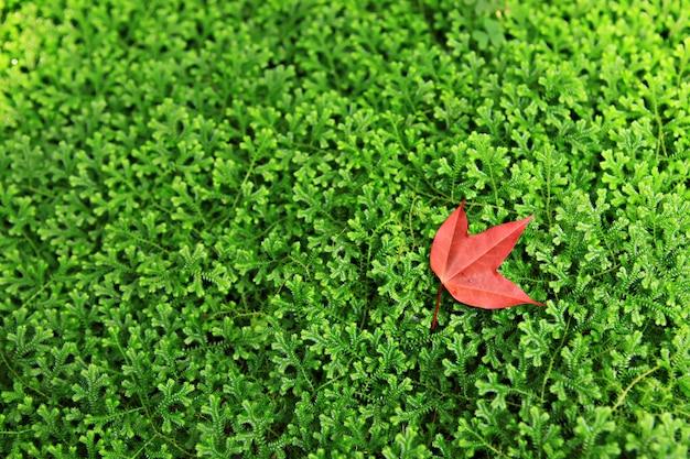 緑の草とカラフルな秋背景赤いカエデ