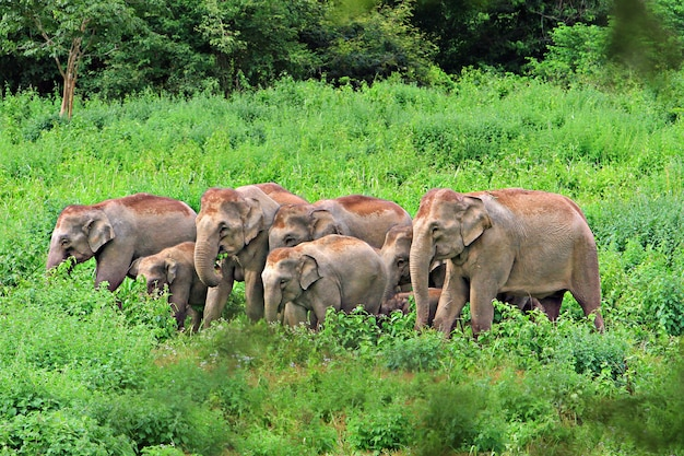 緑の草原に住んでいる象の家族