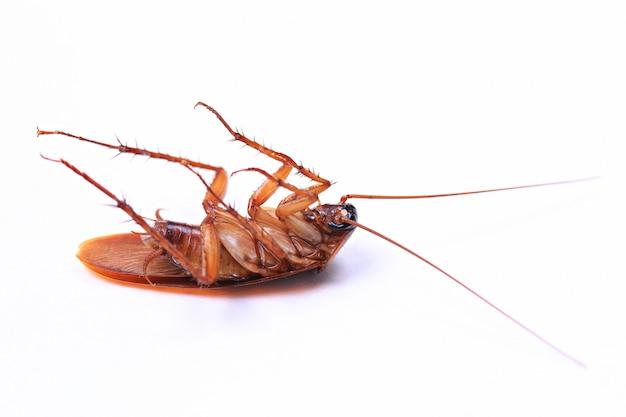 ゴキブリは、白い背景で隔離の殺虫剤を散布した後に死亡しました
