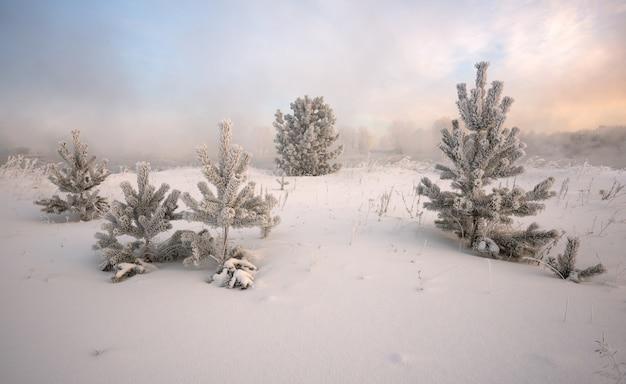 日の出、霜で覆われたトウヒの冬の風景