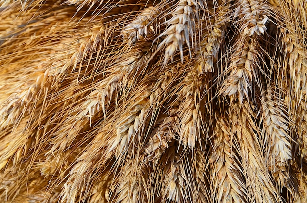 秋の収穫後の小麦の穂。セレクティブフォーカス。