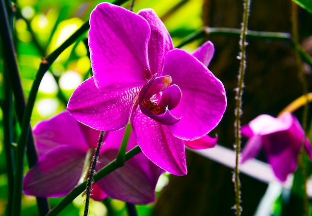 テネリフェ島、カナリア諸島、スペインのトロピカルガーデンの蘭の花。咲く胡蝶蘭。