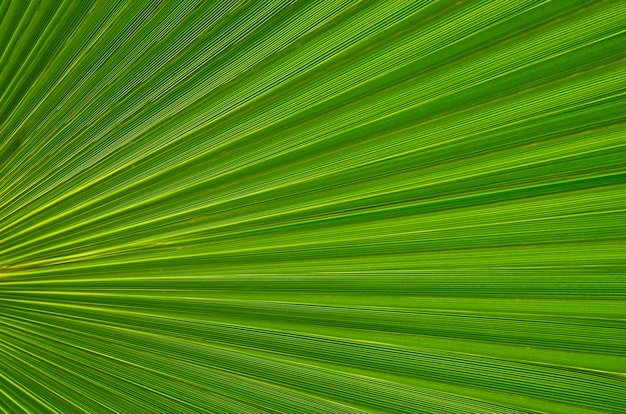 Тропическая зеленая текстура лист как предпосылка для дизайна или обоев. конец лист пальмы вверх зеленые листья ладони. естественная предпосылка. селективный фокус.