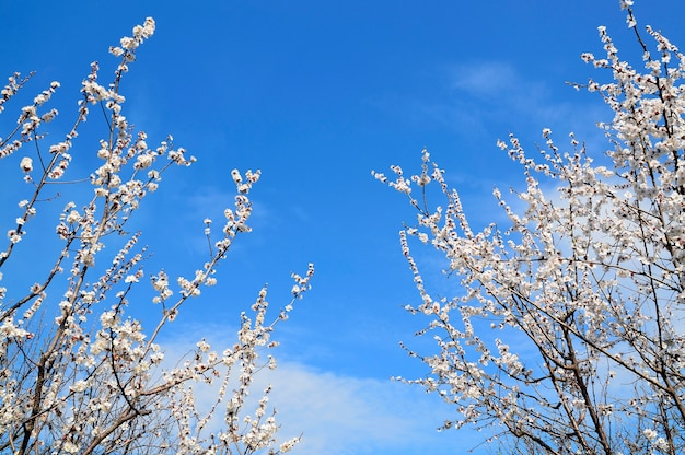 美しい青い空をフレーミング開花桜または桜の木。春の背景。