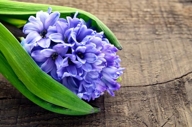 Голубой гиацинт на старой деревянной предпосылке с космосом экземпляра. цветок весны гиацинта. предпосылка весны. селективный фокус.