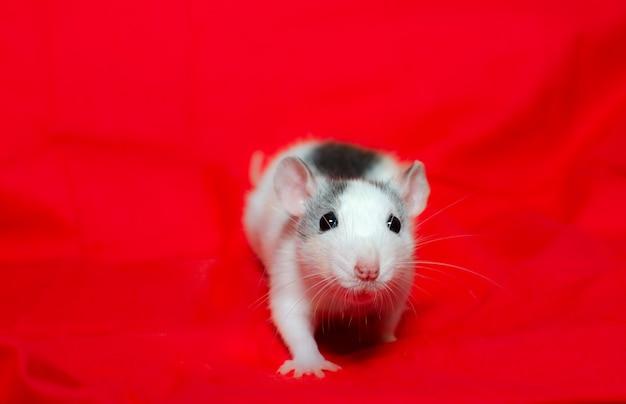 Милая маленькая крыса