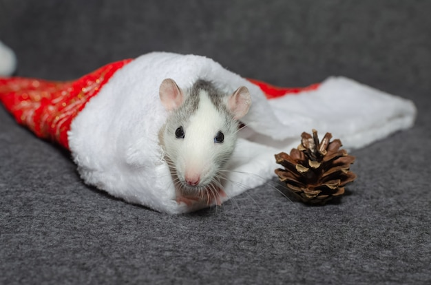 Симпатичная белая крыса в новогоднем декоре.