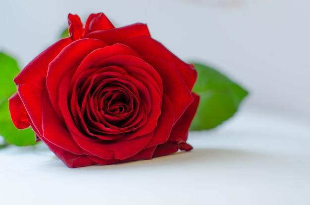 Крупным планом одной розы
