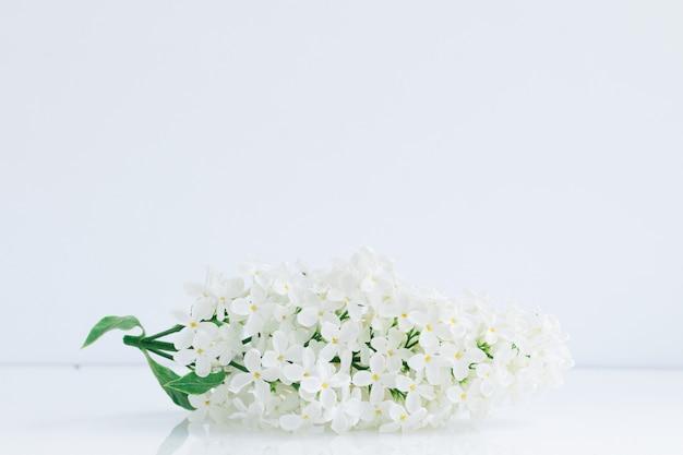 Цветущая ветка с белыми цветами сирени на белом