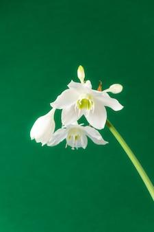 Белые цветки эухариса амазоники (амазонки лилии) на зеленом