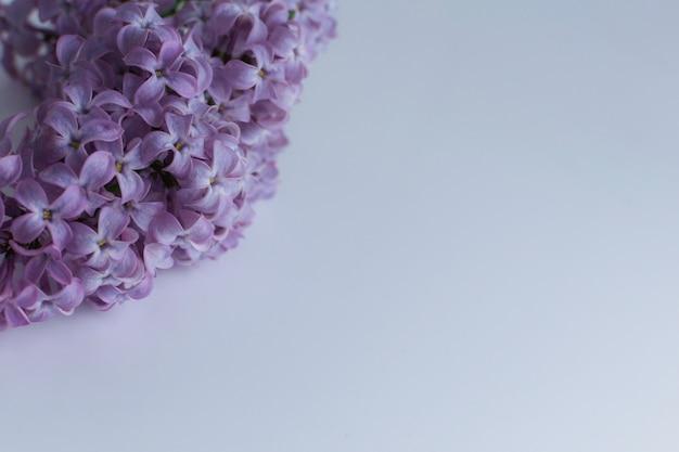 Цветущая ветка с фиолетовыми цветами сирени на белом