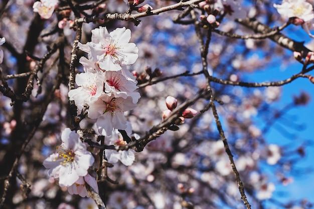 春が満開です。青い空を背景に美しいアーモンドの木の花。春の花。春の美しい庭。