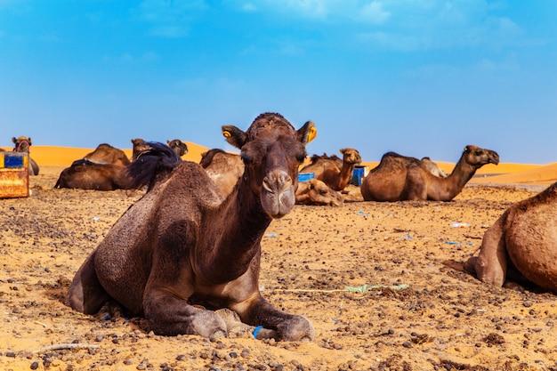 ラクダはサハラ砂漠で休んでいます。