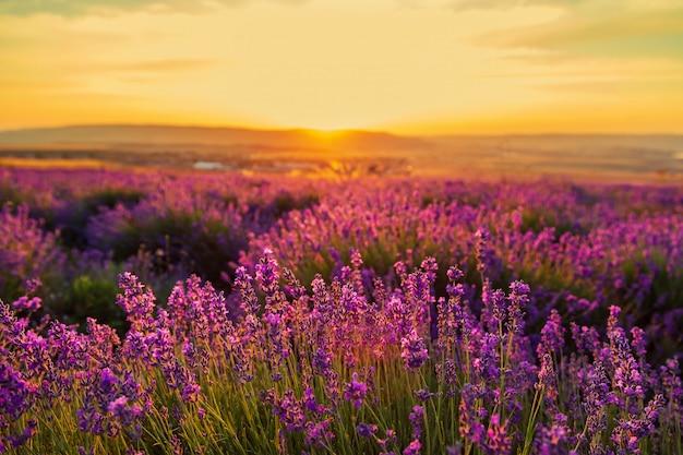 日没時のラベンダー畑。素晴らしい夏の風景。