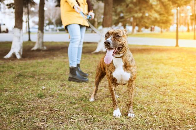 公園を散歩するスタッフォードシャーテリア。後ろは綱に犬を抱いた少女