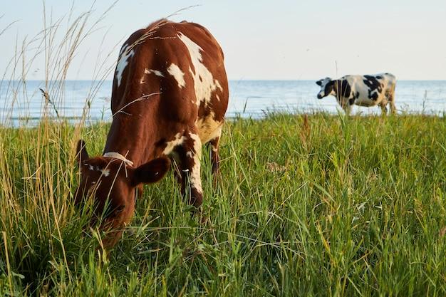 海の近くの牧草地で牛をかすめる