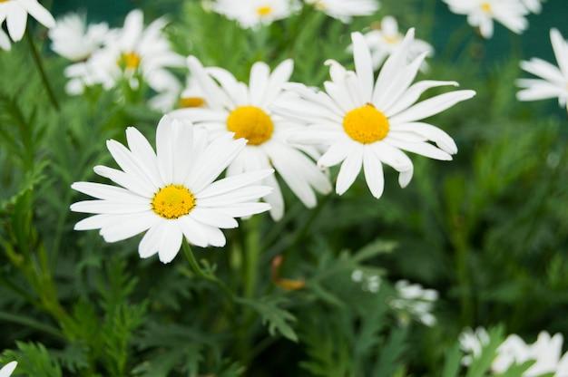 Цветы красивые ромашки.