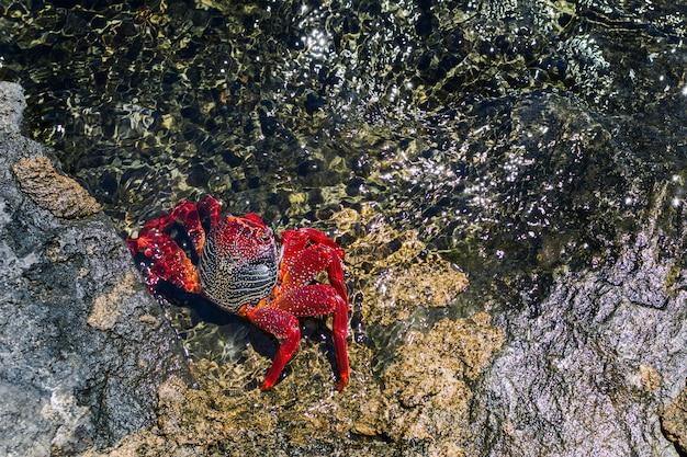 海の周りの岩の上の赤いカニ