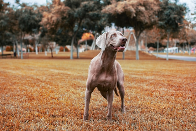 Собака породы веймаранер, стоя на лугу с красивыми цветами осени.