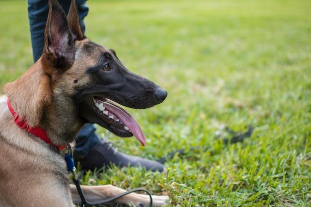 Профиль собаки породы бельгийская овчарка малинуа, сидя на траве в парке.