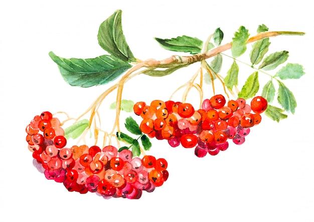 赤いガマズミ属の木、一般名のグエルダーローズ、葉と果実の枝、薬用植物