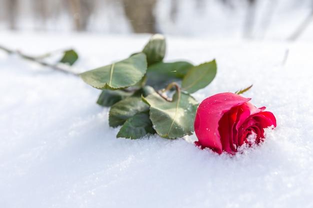 雪の上の赤いバラ