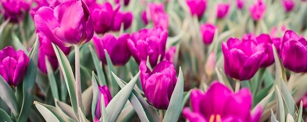 Поле с розовыми тюльпанами