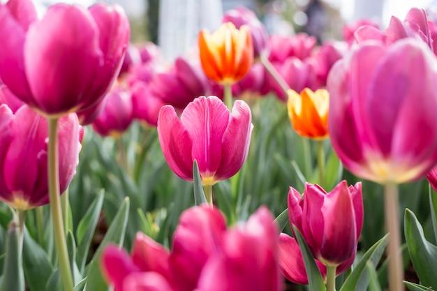 Розовые тюльпаны цветы. весеннее цветущее поле тюльпанов. красивый весенний фон. сезонная фотосъемка.