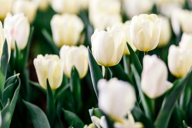 Цветок белых тюльпанов