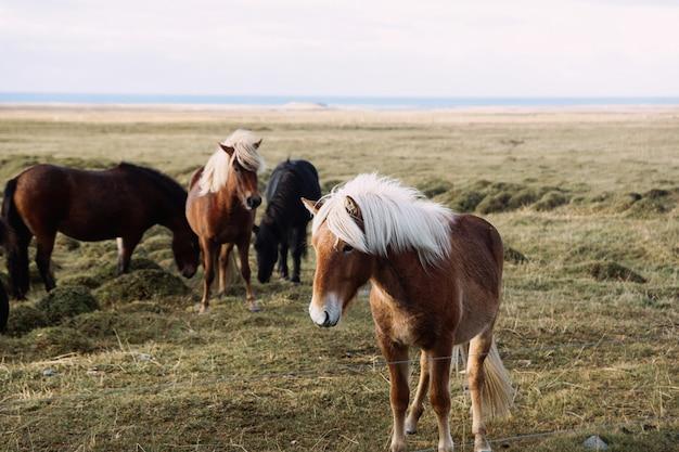 牧草地に茶色のアイスランドの馬の肖像画