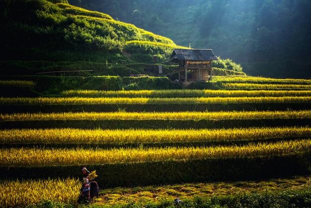 ムチャンチャイの棚田にある水田は、ベトナム北西部の風景で収穫を準備します。