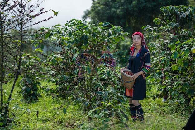 チェンライタイのプランテーションでアラビカコーヒーの果実を選ぶアカ丘