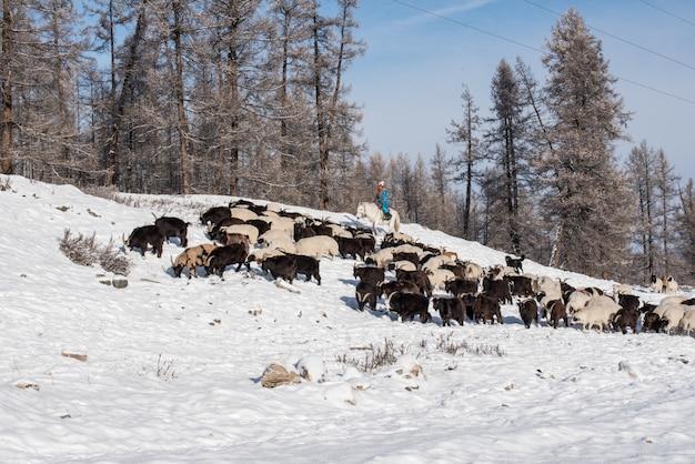 背景に雪をかぶった山々と草原の羊の群れを馬の上に座って、羊飼いの少女羊飼い