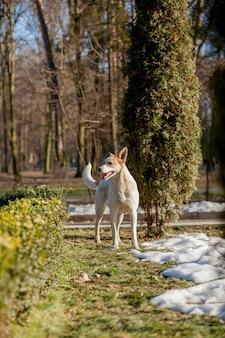 公園の芝生の上に立っている白い犬