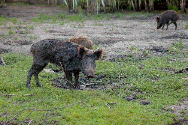 一緒に草の食べ物を食べる放牧イボ豚の家族グループ。
