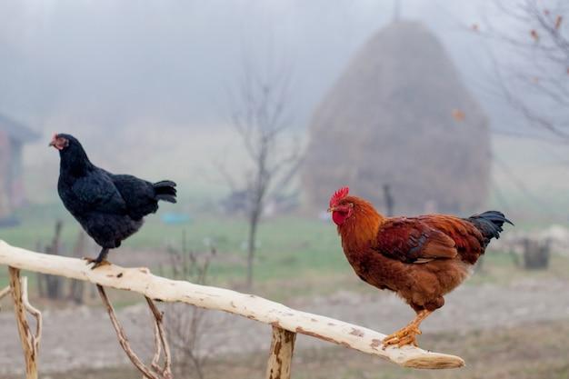 Красный цыпленок, стоящий на деревянный забор с курятником в фоновом режиме