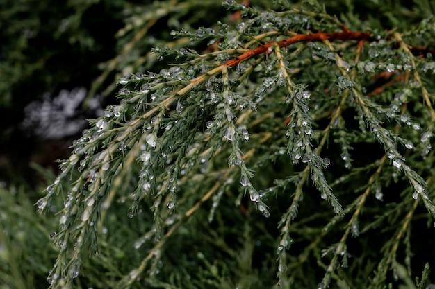 曇りの午後、松の木の松の葉に露が落ちる