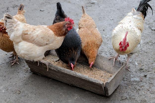 Группа цыплят свободного выгула на ферме