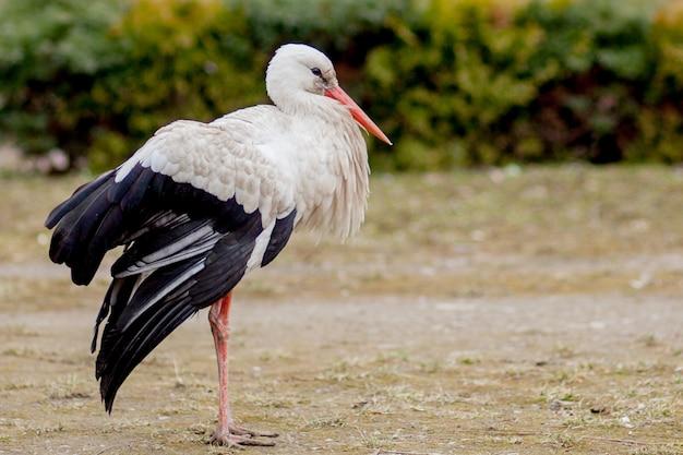 Белый аист в естественной среде обитания, в поисках пищи, популярное лесное лесное пространство на берегу реки, вид сзади аиста, нечистые белые перья
